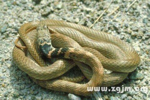梦见黄蛇_周公解梦梦到黄蛇是什么意思_做梦梦见黄蛇