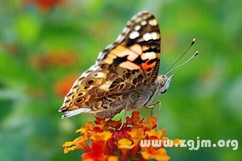 梦见蝴蝶_周公解梦梦到蝴蝶是什么意思_做梦梦见蝴蝶好不好_周公360安全衛士移除不掉