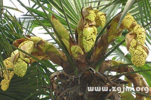 梦见棕榈树
