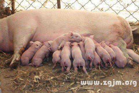 女人梦见小猪在吃奶