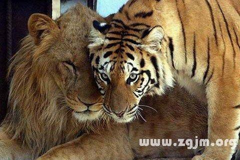 梦见老虎_梦见狮子老虎