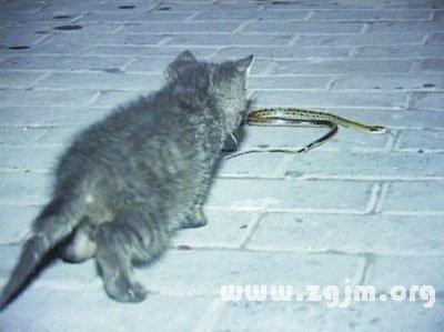 女人梦见猫吃蛇什么预兆