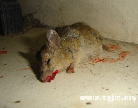 梦见杀死老鼠流血