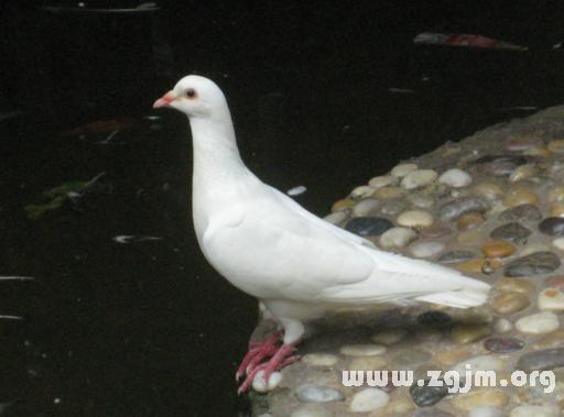 梦见白鸽子图片