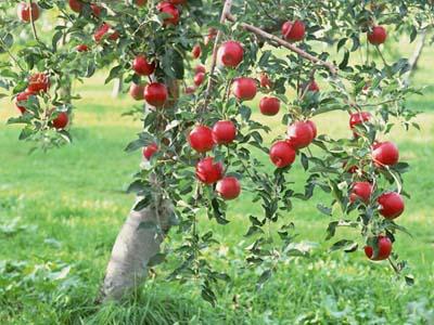 孕妇梦见在枣树上摘枣吃