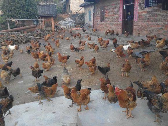 梦见自家院里有好多鸡