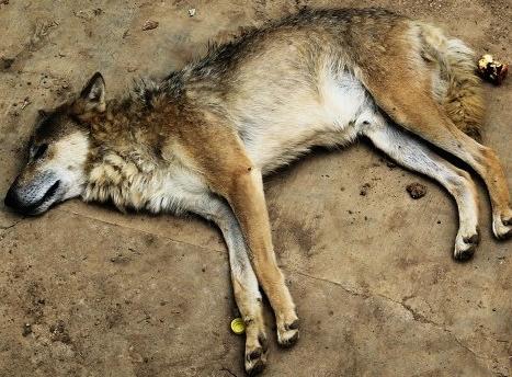 梦见打死了两只狼