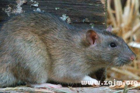 梦见怀孕的老鼠是什么意思