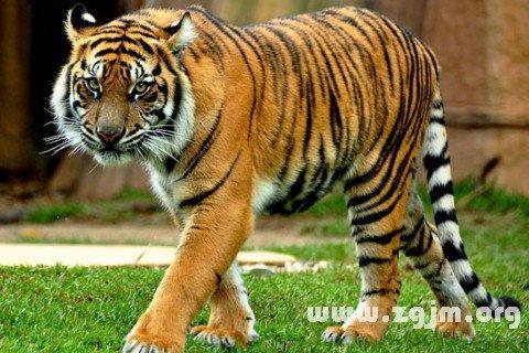 梦见老虎_梦见家里有老虎